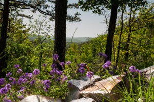 Wild verbena overlooking Hickory Nut Mountain in the distance.