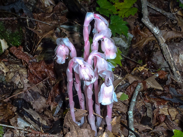 """Indian Pipe"" growing on Bear Mountain alongside the Trail. The LOViT is a terrific Trail on which to enjoy many different plants (and often animals)."